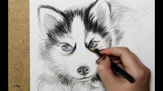 Рисуем щенка хаски