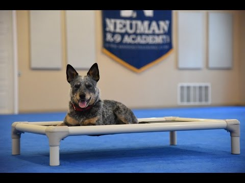 Molly (Australian Blue Heeler) Boot Camp Dog Training Demonstration