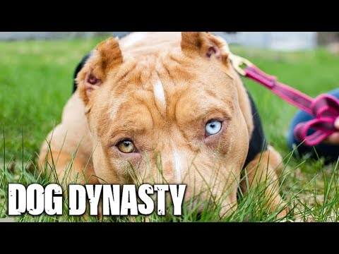 Meet Nicki Minaj: The Queen Of DDK9s | DOG DYNASTY