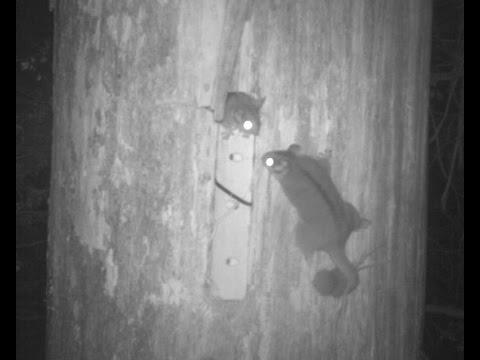 Searching for new ways to create Leadbeater's Possum habitat