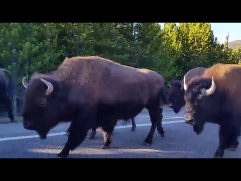 Bison in Yellowstone National Park - Bison Traffic Jam