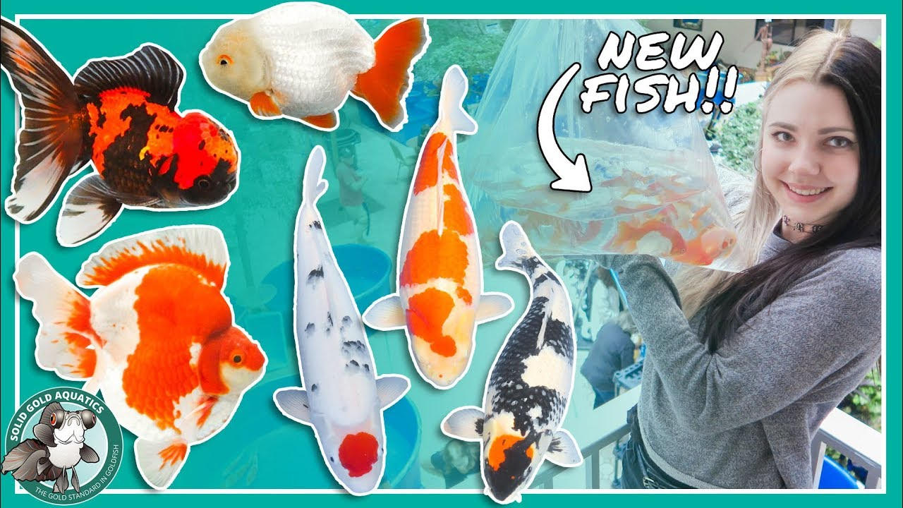 buying-new-fish-at-the-koi-show