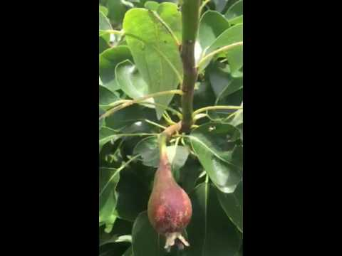 Pear tree. Grow your own💞👍👍💟💜✌️✌❣💐🤗