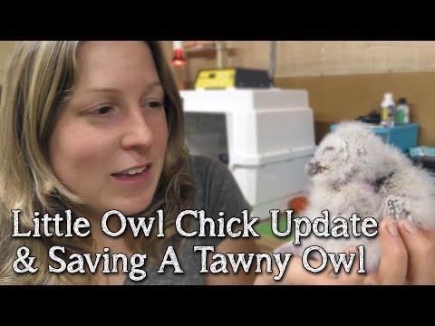 Little Owls | Two Week Old Chick Update| Breeding Birds Of Prey