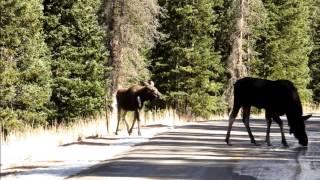 Moose(駝鹿)