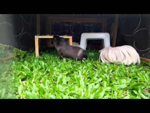Barry white the lethal guinea pig and his friends
