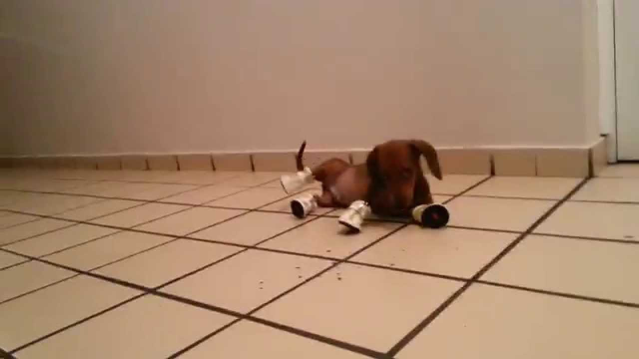 Dachshund Puppy Wearing Shoes Hilarious
