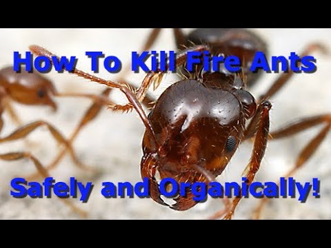 the best way to organically kill fire ants youtube. Black Bedroom Furniture Sets. Home Design Ideas