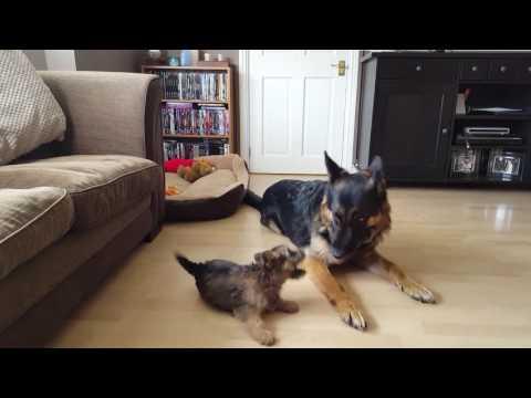 11 1/2 Week Old Cairn Terrier