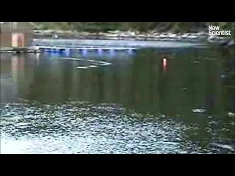 Humpback whales snatch salmon from hatcheries