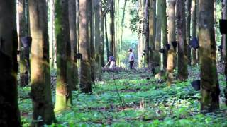 Promoting Sustainable Development Through Natural Rubber Forests in Guatemala