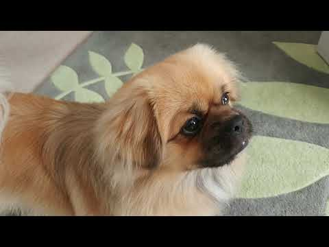 Finlay the Tibetan Spaniel and the balloon