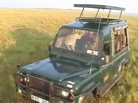 MASAI MARA -CHEETER JUMPS INTO A TOURIST VAN WITH MASAI DRIVER