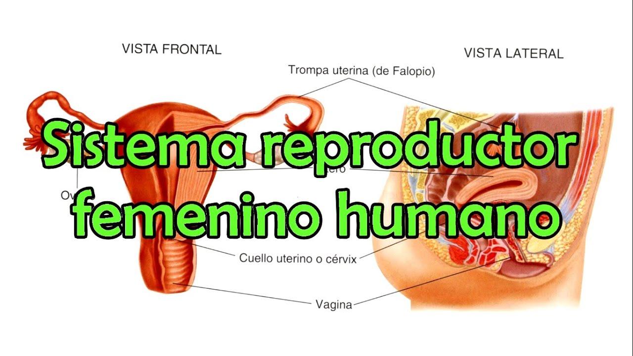 El sistema reproductor femenino humano - YouTube