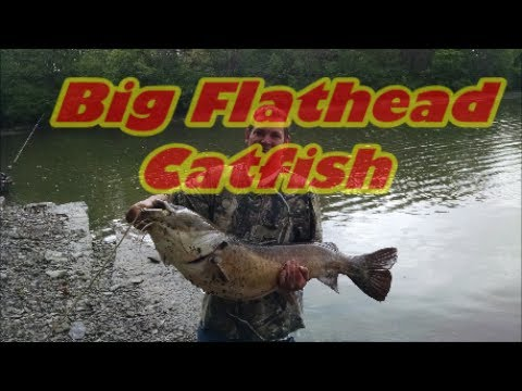 Catfishing For Big Flatheads!! - YouTube - photo#31