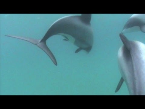 New Zealand Maui's dolphins face extinction