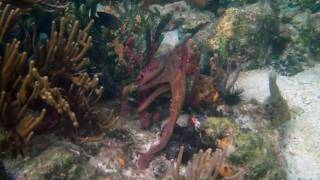 Octopus changing color in Bocas del Toro, Panama