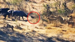 Buffaloes Rescue Friend from Lions