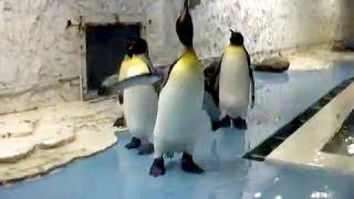 天王寺動物園でのオウサマペンギン(キングペンギン)公開餌やりタイムで...
