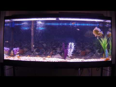 peacock bass aquarium
