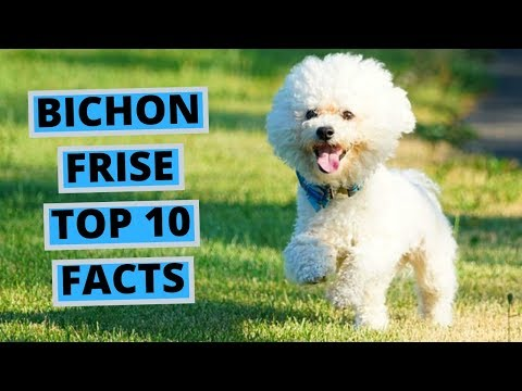 Bichon Frise  TOP 10 Interesting Facts