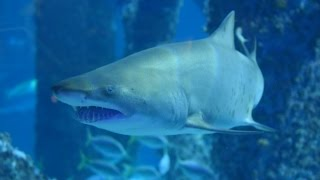 moving a shark into audubon aquarium