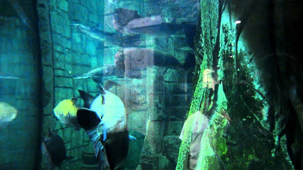 giant piranhas at the mandalay bay aquarium youtube