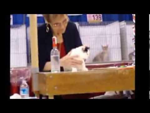 2013 National Capital CFA Cat Show - Manx Judging