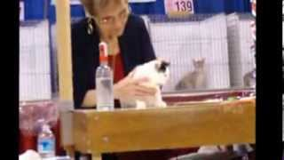 2013 National Capital CFA Cat Show - Manx Judging