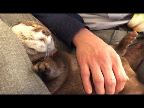 カワウソさくら うりぼうになってしまったカワウソ Otter like a boar's child pattern from YouTube · Duration:  2 minutes 33 seconds