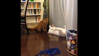 久しぶりの兄猫チロに会って 元気が有り余ってるひろし。 ほどほどにお...