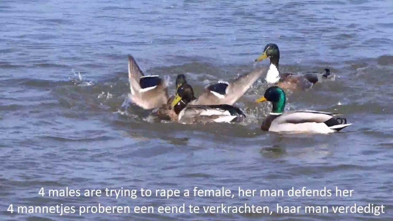 Image result for duck rape
