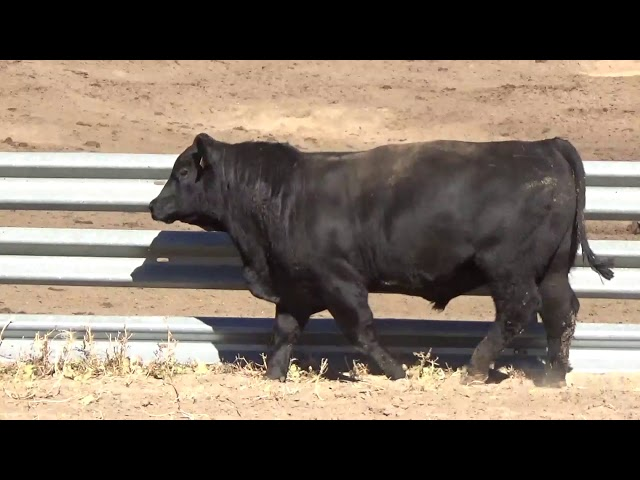 Connealy Angus Lot 8