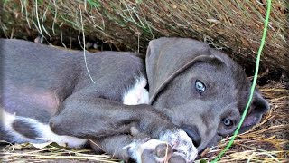 Blue Euro Great Pyredane Puppy