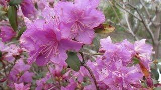 30 04 19г  Начало цветения рододендрона сихотинского