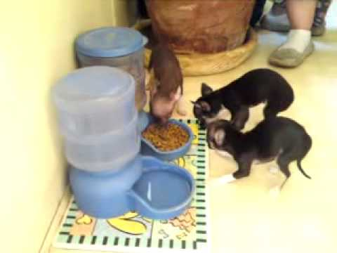 Cute Chihuahua Puppy Not Sharing Her Food