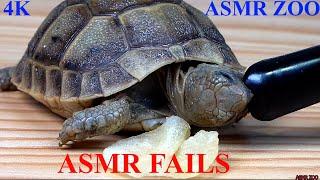 Cute Baby Turtles ASMR Fails-Baby Tortoise Eating StrawberryTomatoChips(Gone Wrong)-GreekMicLeg