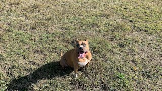 Off-Leash with Capone The Bully!
