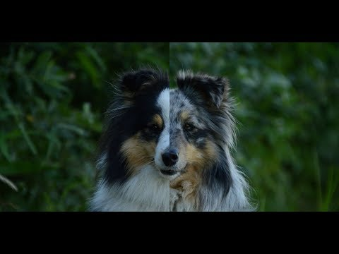 DOUBLE DOG TRICKS 2! | Airin & Jessie | 2 amazing shelties!