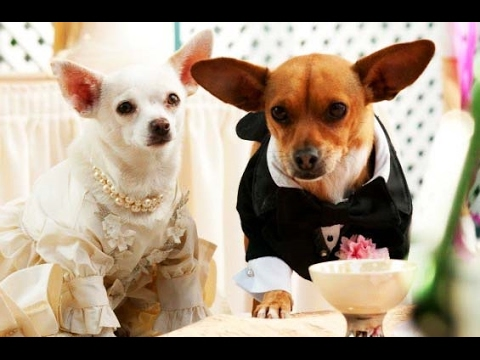 Un chihuahua en Beverly Hills 2 (Trailer español) streaming vf