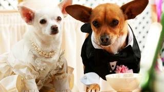 Un chihuahua en Beverly Hills 2 (Full online español)