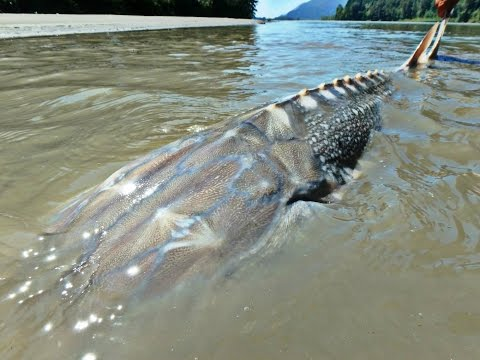 Thumbnail: Fishing for River Monsters of British Columbia