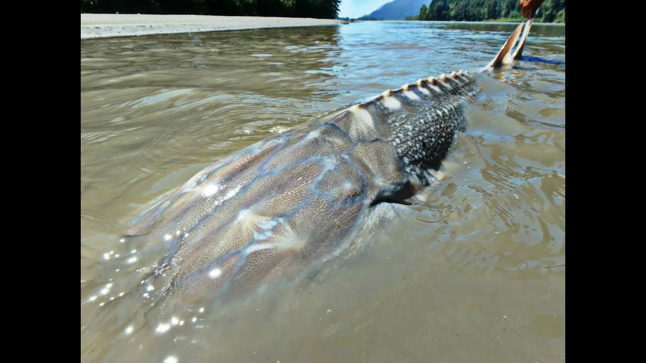 fishing for river monsters of british columbia youtube