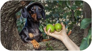 Dog harvesting fruits | Hilarious Dachshund on village Holiday 3