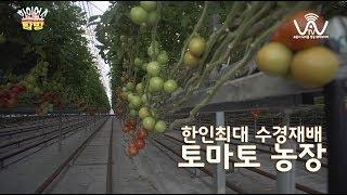 호주 한인 최대 수경재배 토마토 농장