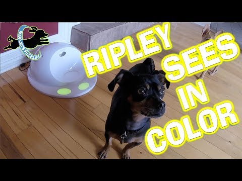 Dogs See In Color! | Ripley Learns With Her CleverPet Smart Dog Puzzle