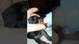 Чем кормить щенков если мама их не кормит