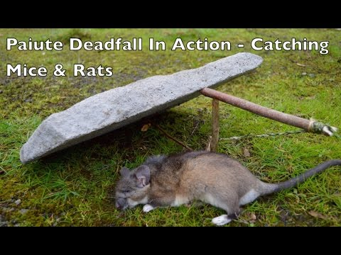 Paiute Deadfall Trap in Action! Killing Rats and Mice. Bushcraft Survival Skills.