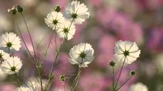 山口百恵 - 秋桜