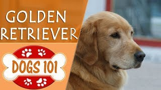 Dogs 101  GOLDEN RETRIEVER  Top Dog Facts About the GOLDEN RETRIEVER